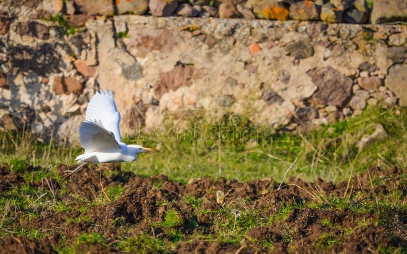 Άσπρος ερωδιός κατά την πτήση στοκ φωτογραφία