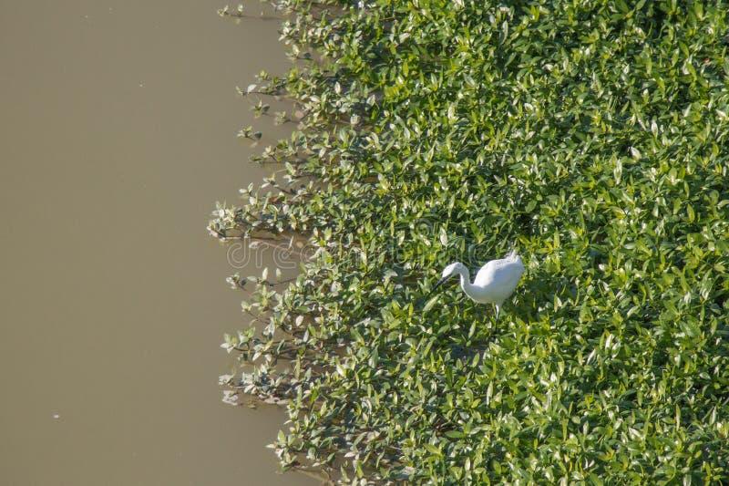 Άσπρος ερωδιός στον ποταμό Arno στοκ εικόνα