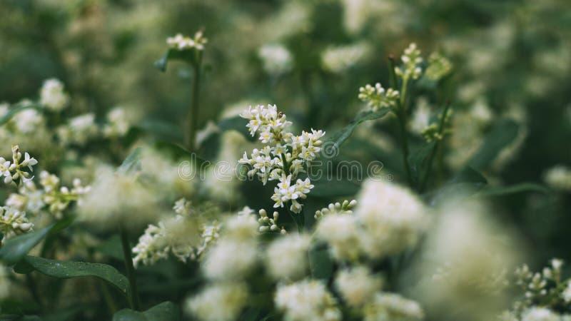 Άσπρος θάμνος λουλουδιών Εγκαταστάσεις στο πάρκο Το έντομο συλλέγει τη γύρη Μια μέλισσα ή μια σφήκα εργάζεται στοκ φωτογραφία με δικαίωμα ελεύθερης χρήσης