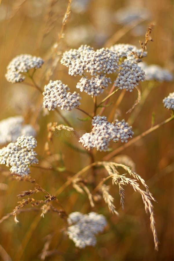 Άσπρος θερινός τομέας λουλουδιών στο σούρουπο Συστάδες, floral στοκ φωτογραφίες με δικαίωμα ελεύθερης χρήσης