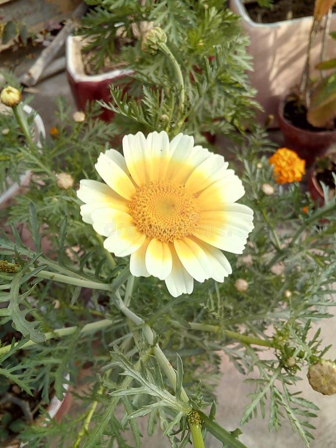 άσπρος κίτρινος λουλουδιών στοκ φωτογραφίες