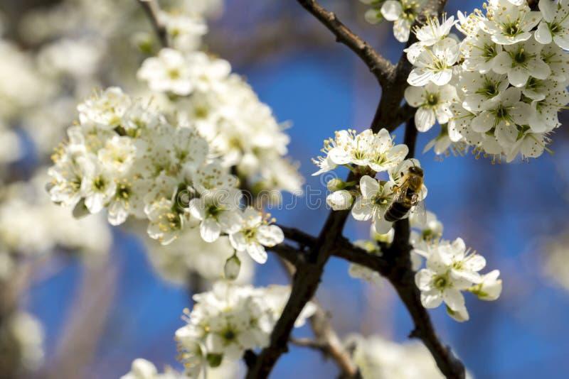 Άσπρος κλάδος ανθών ενός δέντρου άνοιξη με μέλισσες στην επικονίαση στοκ φωτογραφία με δικαίωμα ελεύθερης χρήσης