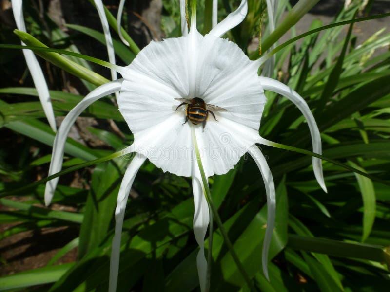 Άσπρος κρίνος αραχνών στην πλήρη άνθιση, με τη σίτιση μελισσών στοκ φωτογραφία με δικαίωμα ελεύθερης χρήσης