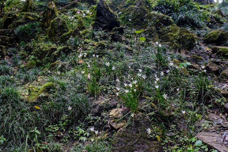 Άσπρος κρίνος βροχής, άσπρος κρίνος νεράιδων, άσπρος κρίνος zephyr στοκ φωτογραφία με δικαίωμα ελεύθερης χρήσης