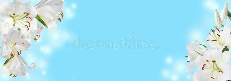 Άσπρος κρίνος στο μπλε υπόβαθρο στοκ εικόνες με δικαίωμα ελεύθερης χρήσης