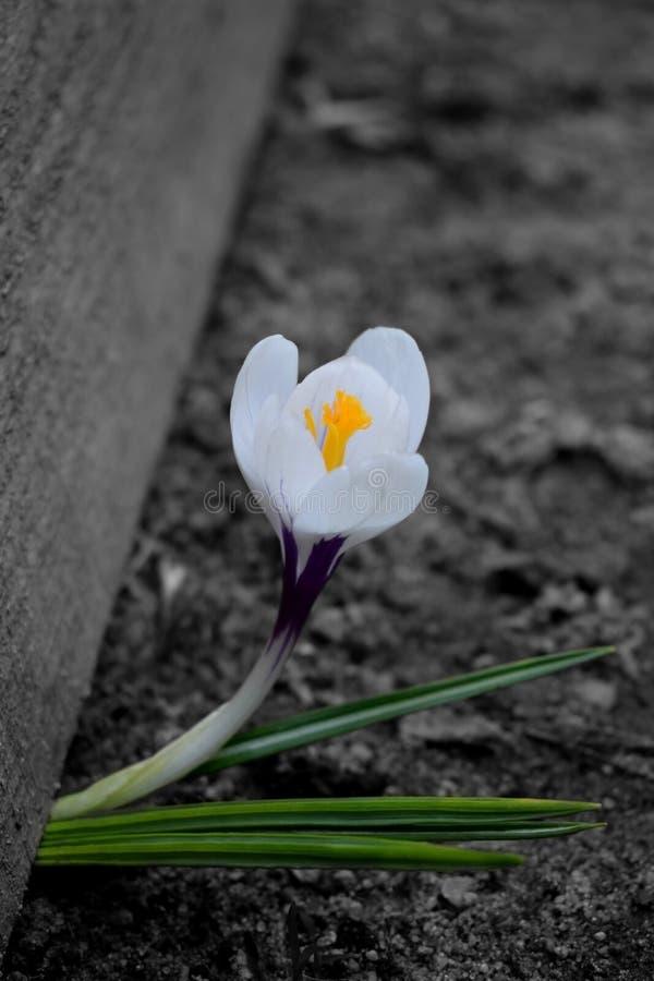 Άσπρος κρόκος στο γραπτό κλίμα Εκλεκτικό χρώμα στοκ φωτογραφία