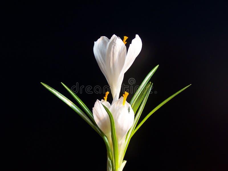 Άσπρος κρόκος στο μαύρο κλίμα στοκ φωτογραφία