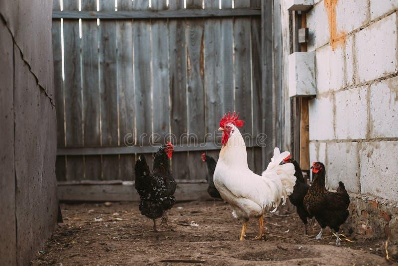 Άσπρος κόκκορας κοτόπουλου που περπατά στην αγροτική αυλή στοκ φωτογραφία με δικαίωμα ελεύθερης χρήσης