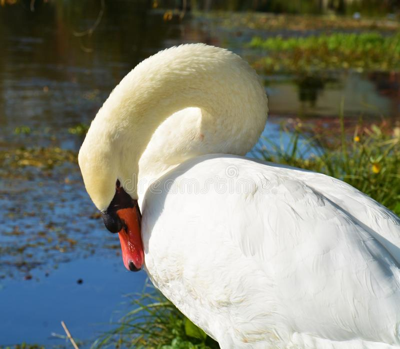 Άσπρος κύκνος, πορτρέτο και φτερά, ρομαντική κομψή εικόνα στοκ φωτογραφία