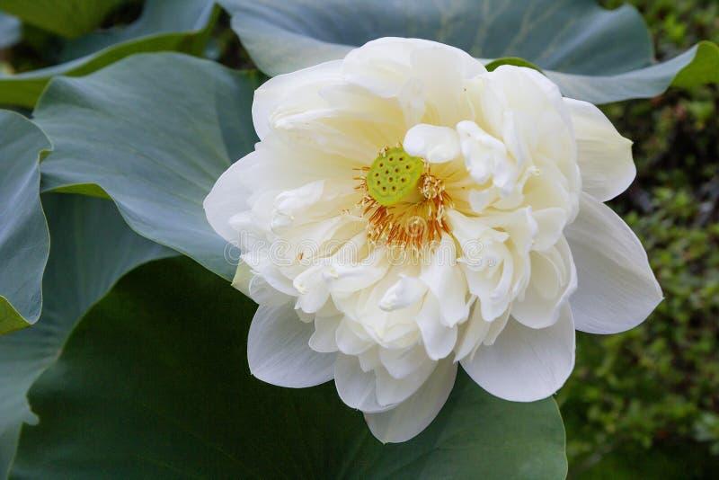 Άσπρος λωτός λουλουδιών στοκ εικόνες με δικαίωμα ελεύθερης χρήσης