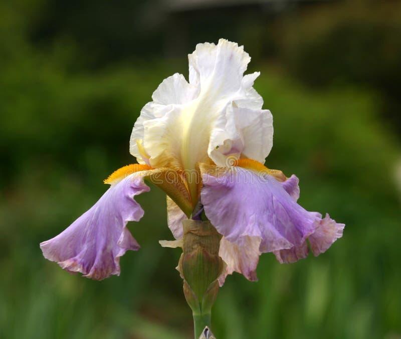 Άσπρος μωβ χρυσός της Iris στοκ εικόνα