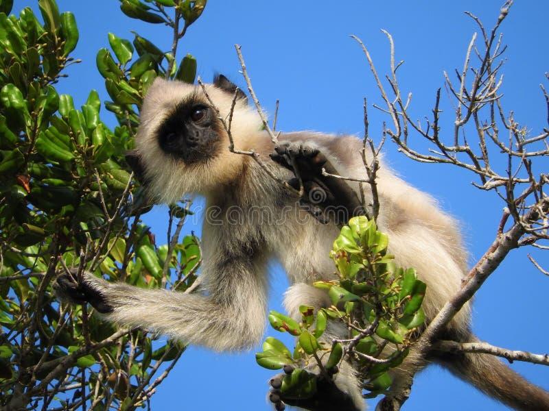 Άσπρος πίθηκος στο φυσικό βιότοπο του πράσινου δέντρου, πάρκο νησιών της Σρι Λάνκα στοκ εικόνα με δικαίωμα ελεύθερης χρήσης