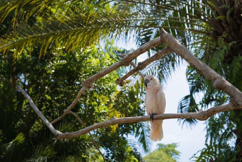 Άσπρος παπαγάλος στο πάρκο πουλιών του Μπαλί στοκ φωτογραφία