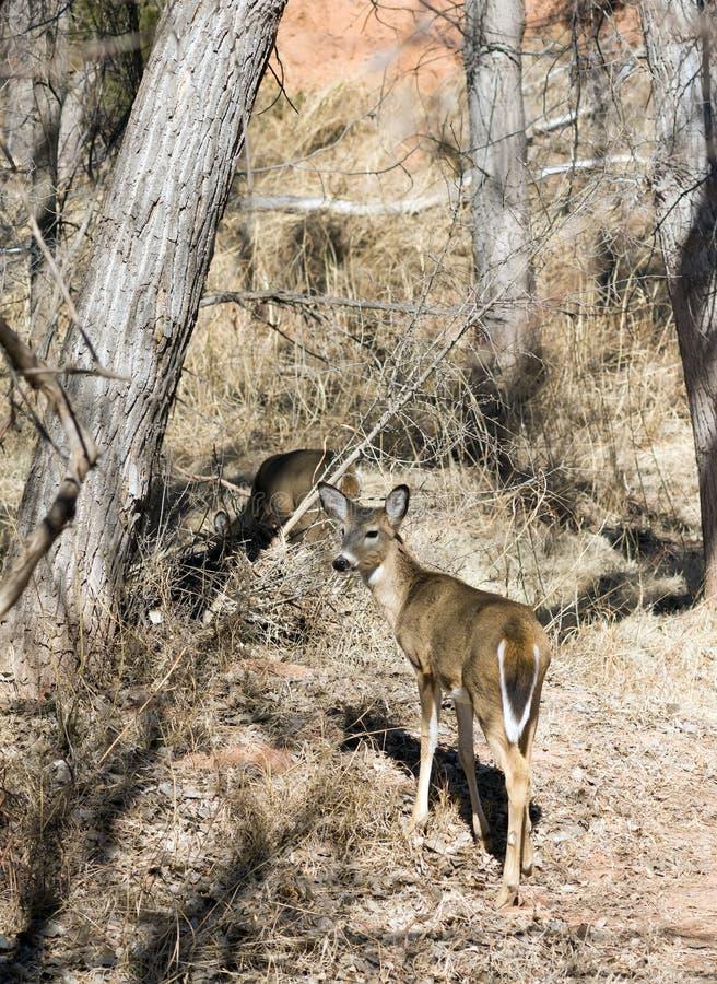 Άσπρος-παρακολουθημένα ελάφια στο κρατικό πάρκο φαραγγιών Palo Duro, Τέξας, U στοκ εικόνες με δικαίωμα ελεύθερης χρήσης