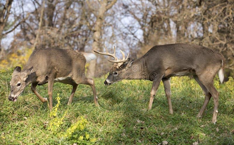 Άσπρος-παρακολουθημένα ελάφια buck και έλαφος στοκ φωτογραφίες