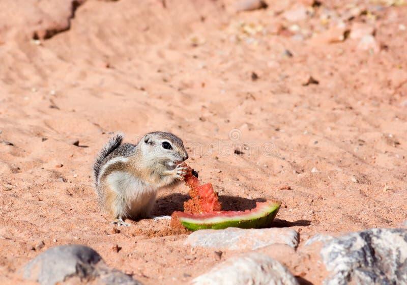 Άσπρος-παρακολουθημένοι σκίουροι αντιλοπών (leucurus Ammospermophilus) που τρώνε τους φλοιούς καρπουζιών στοκ εικόνες με δικαίωμα ελεύθερης χρήσης