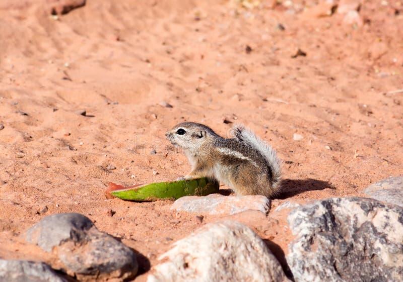 Άσπρος-παρακολουθημένοι σκίουροι αντιλοπών (leucurus Ammospermophilus) στοκ φωτογραφίες