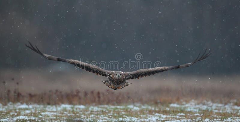 Άσπρος παρακολουθημένος αετός στοκ εικόνες με δικαίωμα ελεύθερης χρήσης