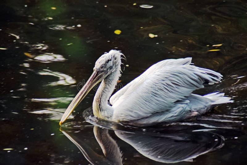 Άσπρος πελεκάνος στο νερό και την αντανάκλασή του στοκ εικόνες με δικαίωμα ελεύθερης χρήσης