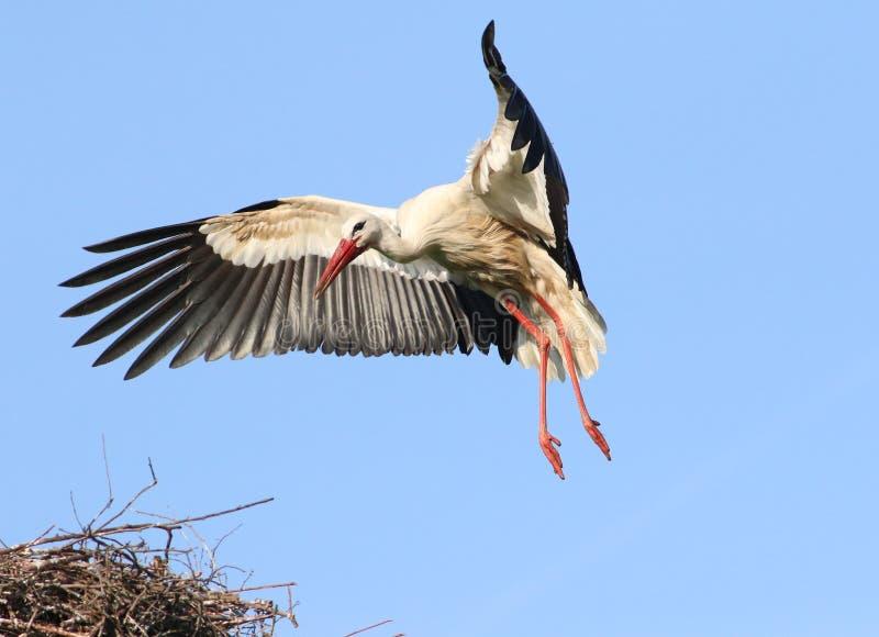 Άσπρος πελαργός εισερχόμενος, προσγειωμένος στη φωλιά στοκ φωτογραφίες