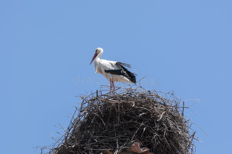 Άσπρος πελαργός, ciconia Ciconia στη φωλιά στοκ φωτογραφία με δικαίωμα ελεύθερης χρήσης