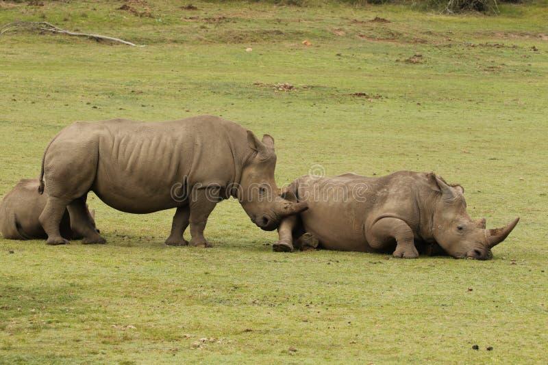 Άσπρος ρινόκερος στην επιφύλαξη Boteilierskop στοκ εικόνα