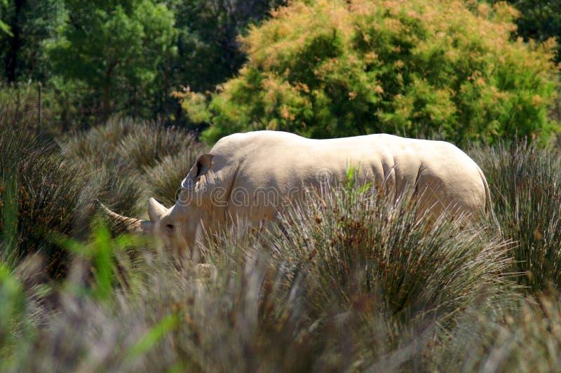 Άσπρος ρινόκερος στην υψηλή χλόη στοκ εικόνες