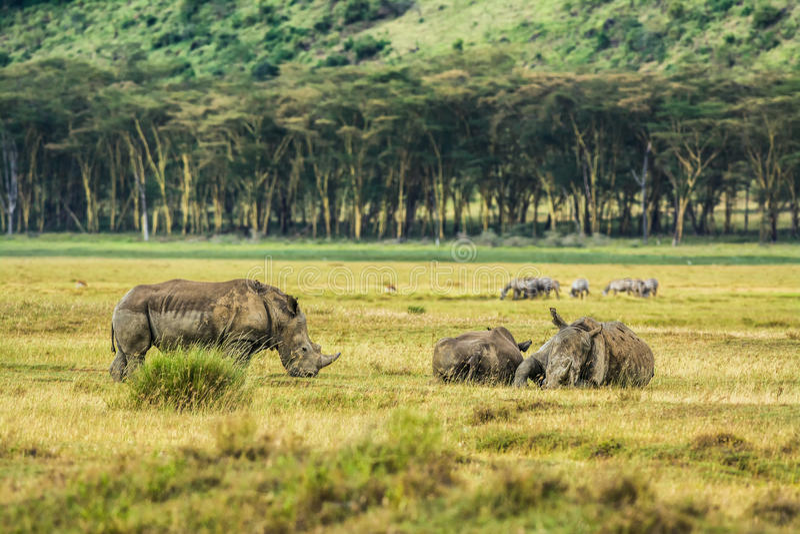 Άσπρος ρινόκερος στο εθνικό πάρκο Nakuru λιμνών, Κένυα στοκ φωτογραφία