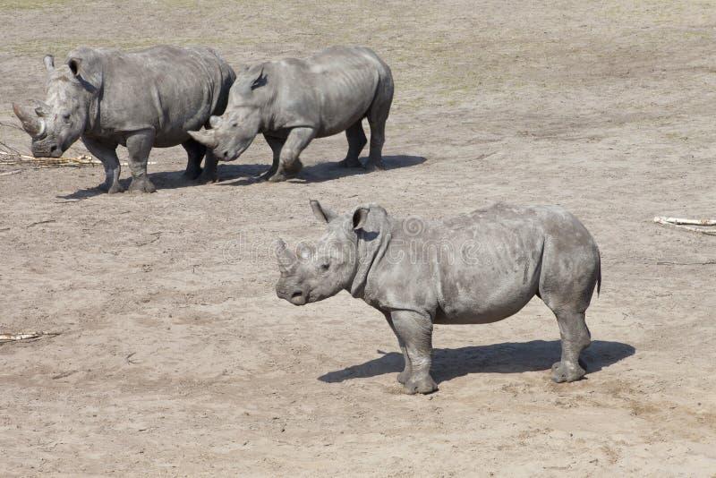 Άσπρος ρινόκερος τρία ή τετραγωνικός-χειλικός ρινόκερος στοκ φωτογραφία με δικαίωμα ελεύθερης χρήσης