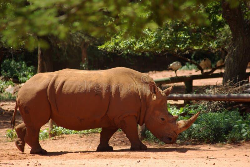 Άσπρος ρινόκερος