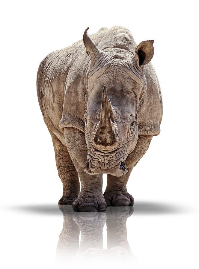 Άσπρος ρινόκερος στοκ φωτογραφίες