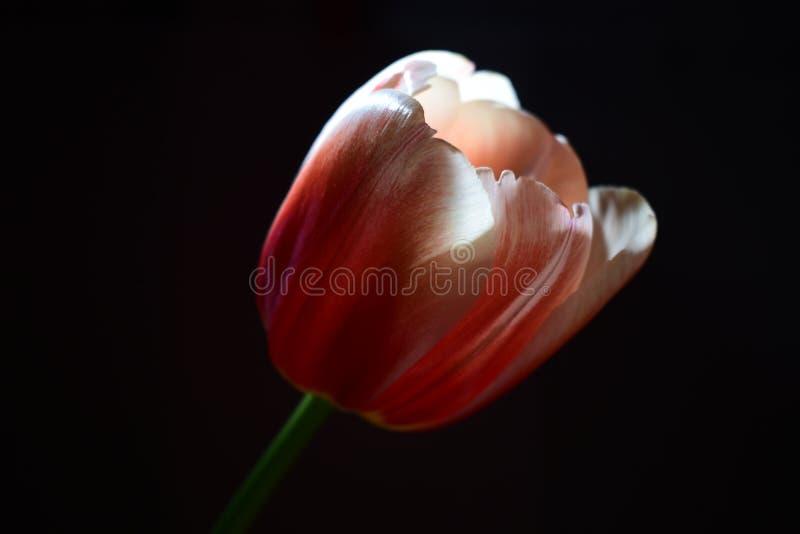 Άσπρος-ρόδινες στάσεις οφθαλμών τουλιπών στο σκοτάδι σε μια ακτίνα του φωτός στοκ φωτογραφία με δικαίωμα ελεύθερης χρήσης