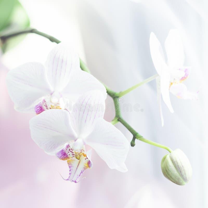 Άσπρος στενός επάνω λουλουδιών ορχιδεών r Τετραγωνικό φυσικό υπόβαθρο λουλουδιών πλαισίων φρέσκο στοκ φωτογραφία