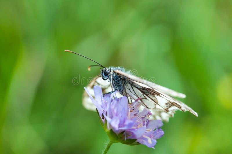 Άσπρος στενός επάνω μακρο πυροβολισμός Pieridinae πεταλούδων στοκ φωτογραφίες