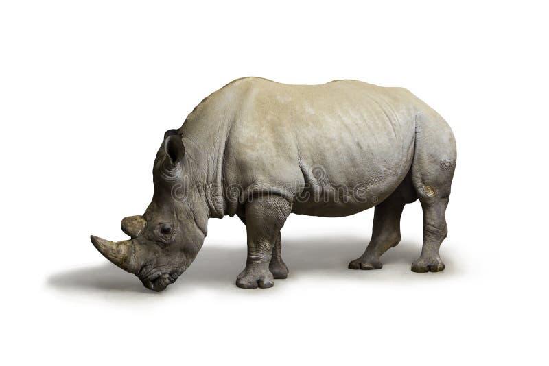 Άσπρος τετραγωνικός-χειλικός ρινόκερος ρινοκέρων που κατοικεί στη Νότια Αφρική στο άσπρο υπόβαθρο, ρινόκερος στην άγρια φύση στοκ εικόνες