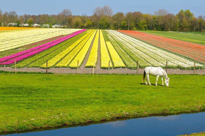 Άσπρος τομέας αλόγων και τουλιπών στις αγροτικές Κάτω Χώρες στοκ εικόνες