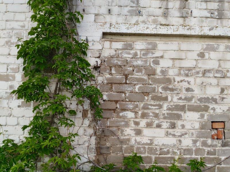 Άσπρος τουβλότοιχος πλαισιωμένο πράσινο οριζόντια φυτό φωτογραφιών στοκ εικόνες