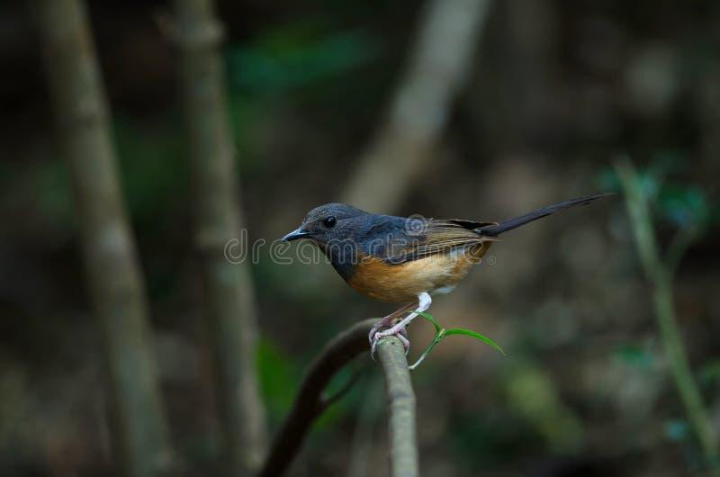 Άσπρος-το θηλυκό πουλί Shama στοκ εικόνες