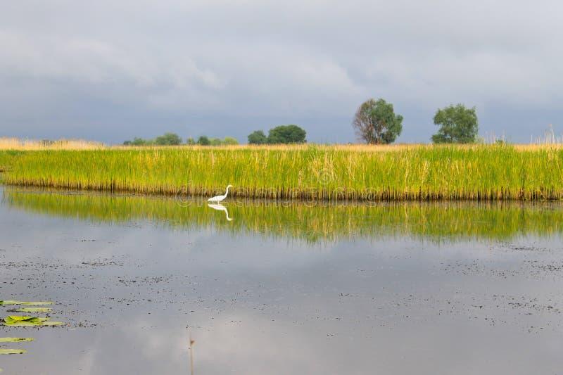 Άσπρος τσικνιάς στον ποταμό στοκ φωτογραφίες