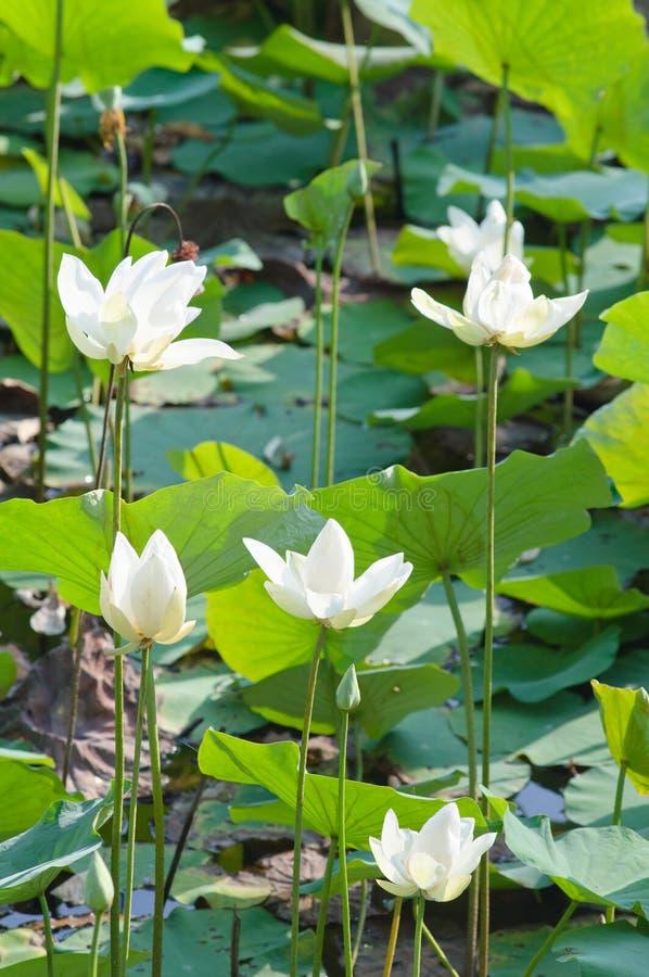 Άσπρος λωτός και πράσινο υπόβαθρο φύλλων στοκ εικόνες