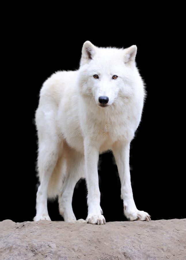 Άσπρος λύκος στο σκοτεινό υπόβαθρο στοκ εικόνα με δικαίωμα ελεύθερης χρήσης