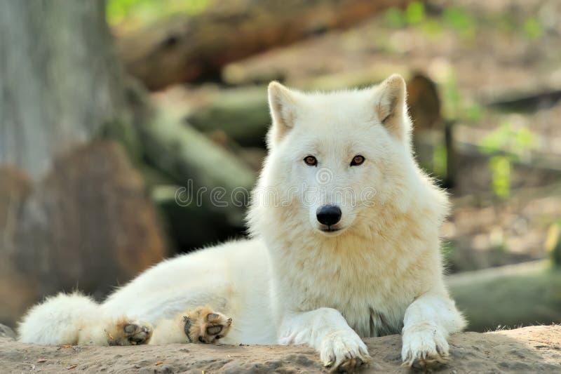 Άσπρος λύκος στοκ φωτογραφίες