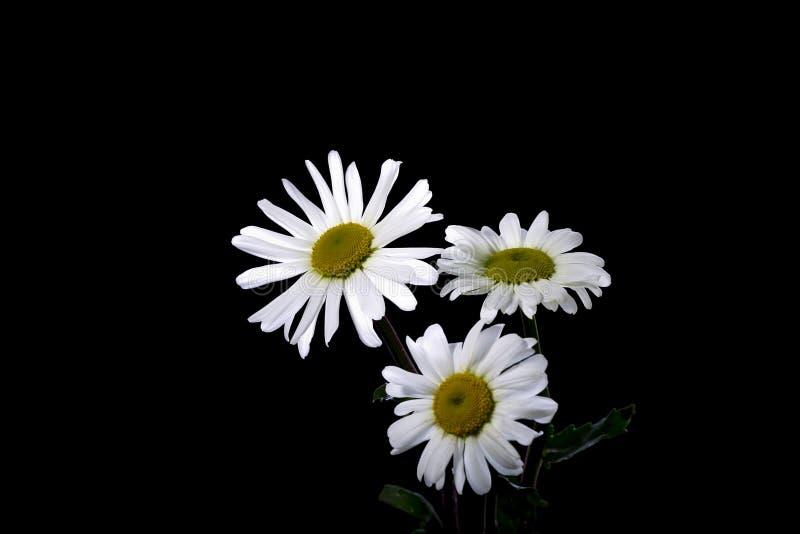 Άσπρος chamomile λουλουδιών στοκ φωτογραφία
