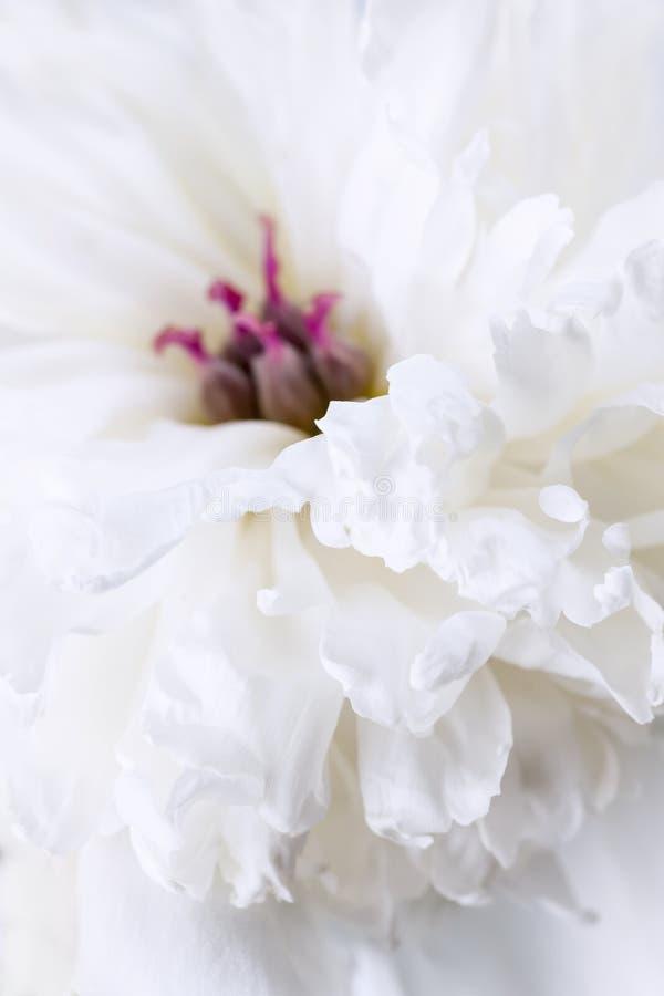 Άσπρος peony στενός επάνω λουλουδιών στοκ φωτογραφία με δικαίωμα ελεύθερης χρήσης