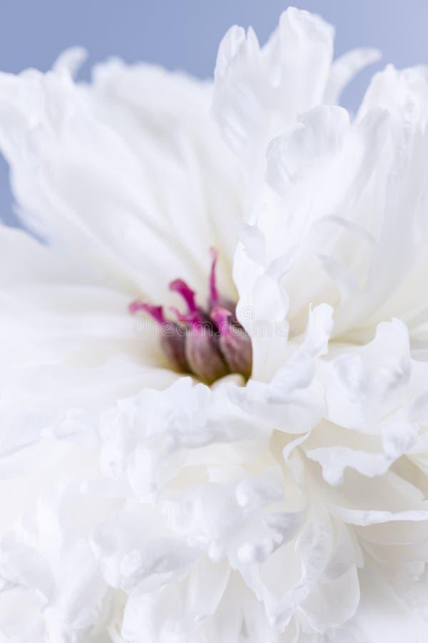Άσπρος peony στενός επάνω λουλουδιών στοκ εικόνα με δικαίωμα ελεύθερης χρήσης