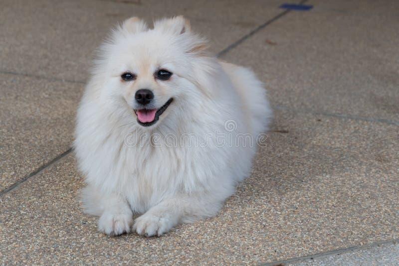 Άσπρος pomeranian καλλωπισμός σκυλιών με τη ζωηρόχρωμη ουρά στοκ εικόνες