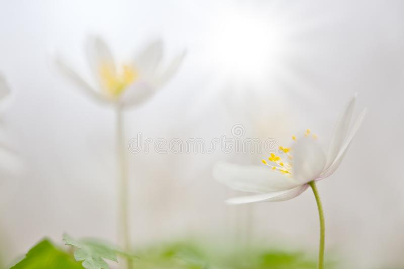 Άσπρο άγριο λουλούδι, nemerosa Anemone ή ξύλινο anemone στοκ εικόνες
