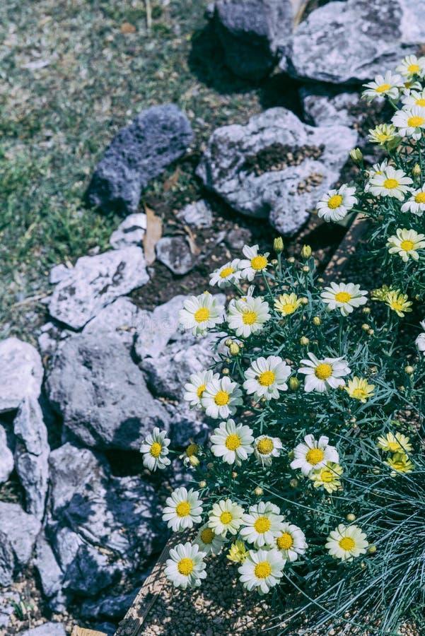 Άσπρο άγριο χρυσάνθεμο στον κήπο διανυσματική απεικόνιση