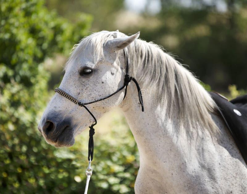 Άσπρο άλογο και halter στοκ φωτογραφία με δικαίωμα ελεύθερης χρήσης