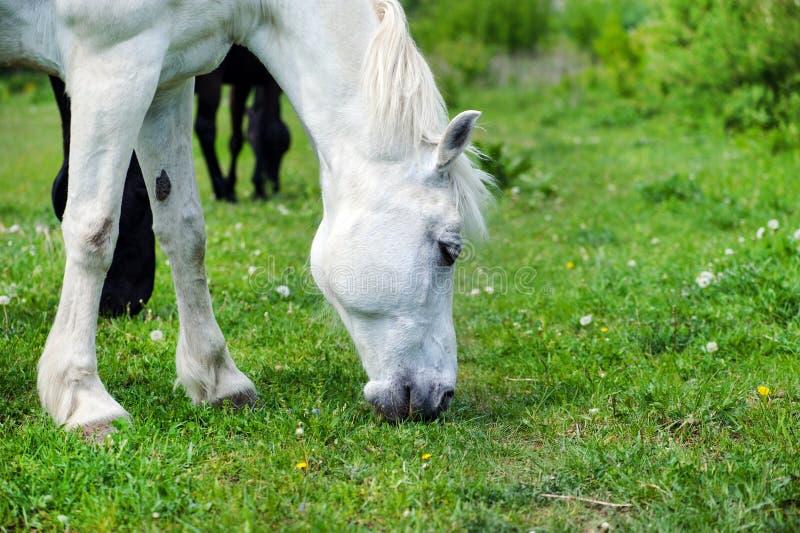 Άσπρο άλογο με το μακρύ Μάιν στο λιβάδι ενάντια στον όμορφο μπλε ουρανό στοκ φωτογραφία με δικαίωμα ελεύθερης χρήσης